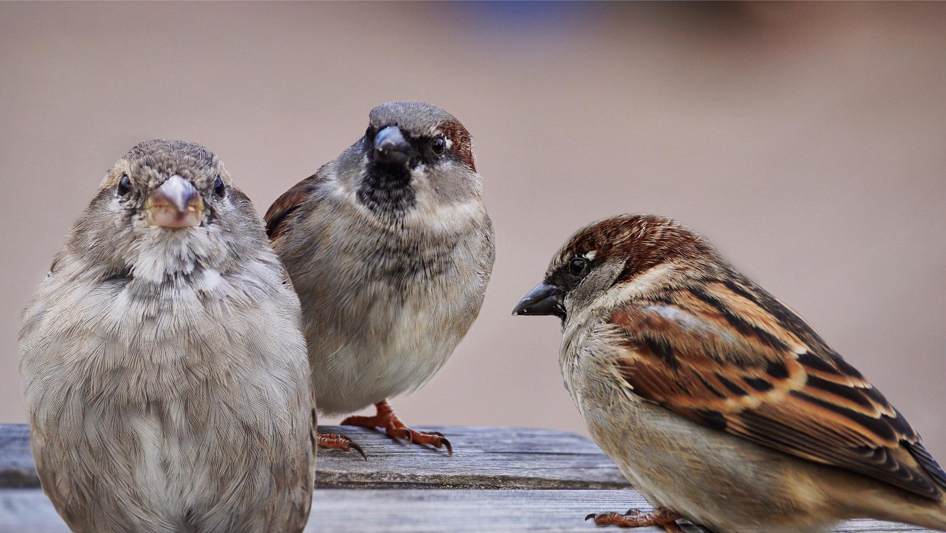 sparrows-2763083_1920